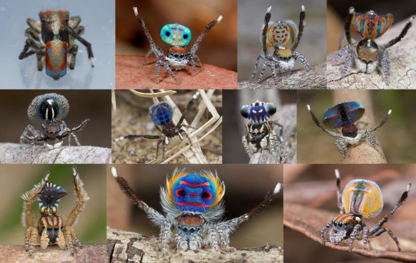alcuni ragni della specie Maratus