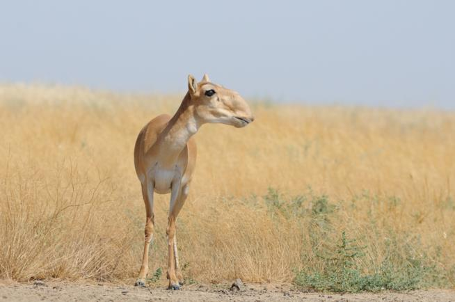 La saiga è una curiosa antilope che vive nelle pianure dell'Asia orientale