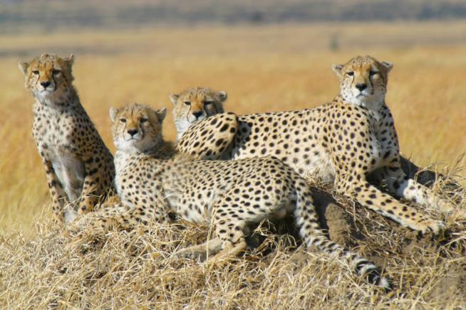 Mamma ghepardo con i suoi cuccioli