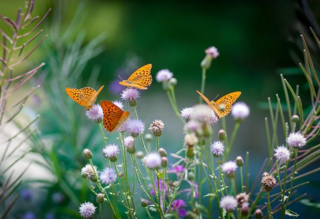 Farfalle su fiori