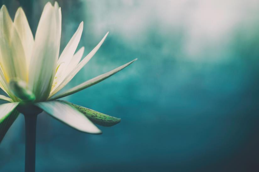 Fiore di loto in primo piano