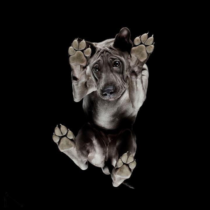 Un cane nero a pelo raso fotografato dal basso