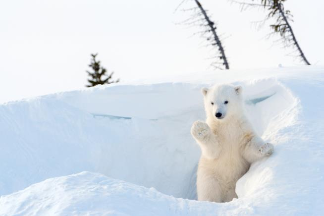 Un orso polare cammina sul ghiaccio