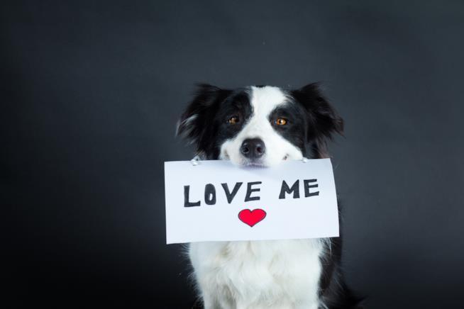 Un cane border collie tiene stretto in bocca un cartello con la scritta love me e un cuore disegnato