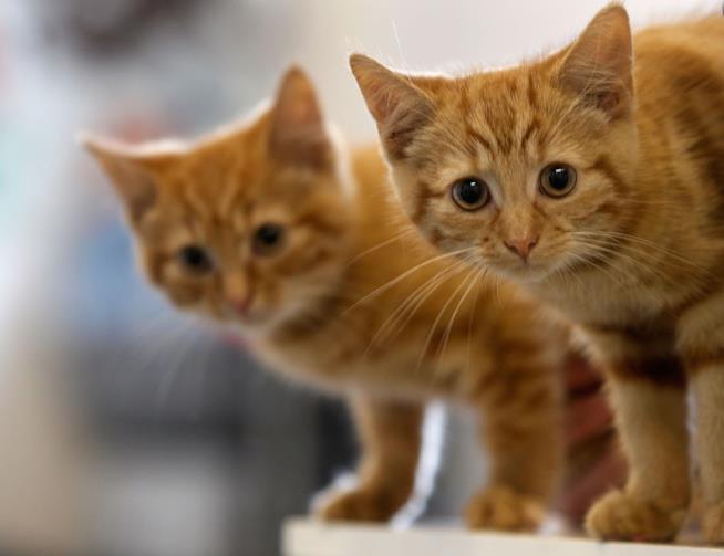 Una coppia di gattini rossi