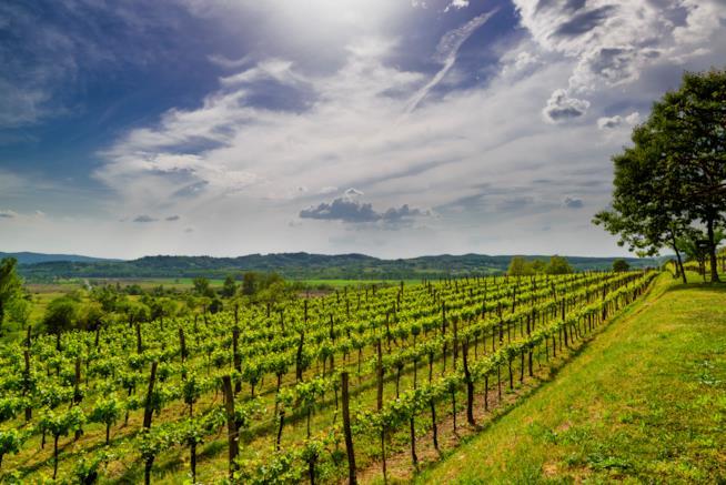 Distesa di viti in Slovenia.