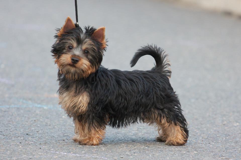 Cani piccola taglia le 10 razze da salotto for Nomi per cagnolini di piccola taglia