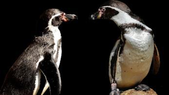 Una coppia di pinguini