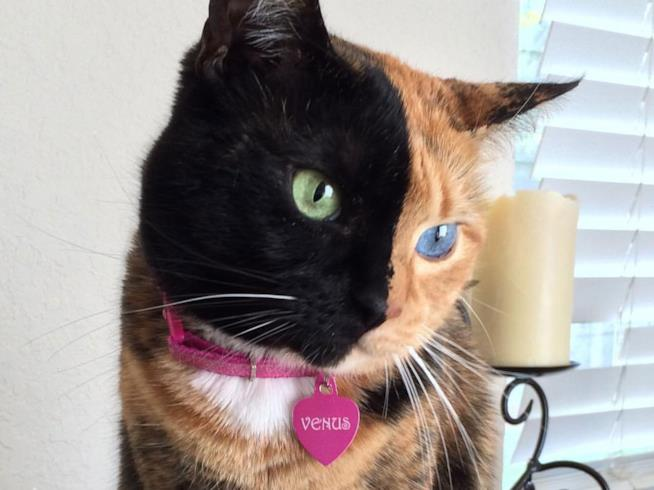 Venus cat influencer