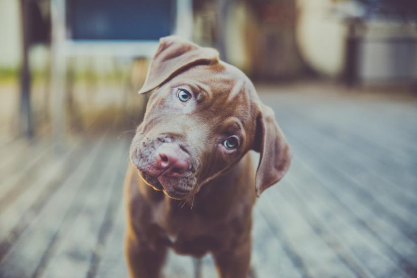 Primo piano di un cucciolo che piega la testa
