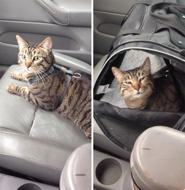 Un gatto seduto sul sedile dell'auto, prima e dopo dal veterinario
