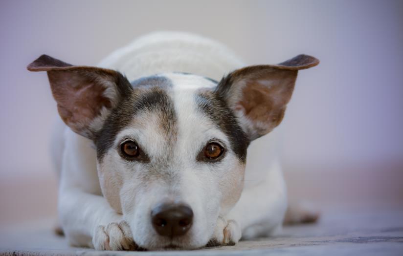 Selezione dei migliori collari antiparassitari per cani