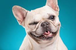 L'immagine di un Bulldog francese che fa l'occhiolino