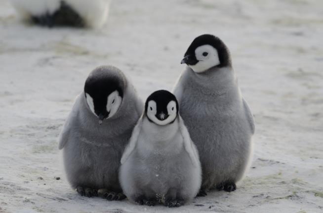 Esemplari di pinguino