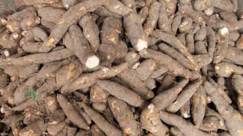Una guida per conoscere il tubero del Brasile detto manioca, ricco di carboidrati, ferro e calcio