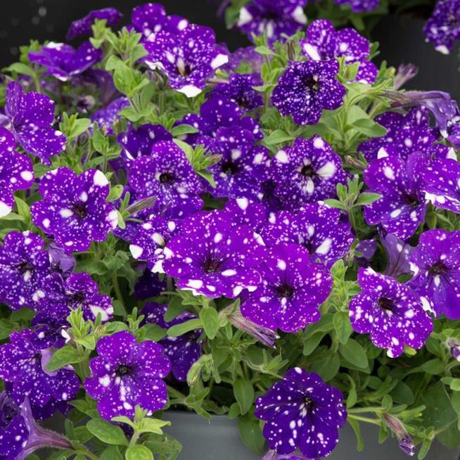 una pianta di petunia Night Sky