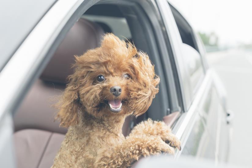 Cagnolino affacciato al finestrino di un'auto