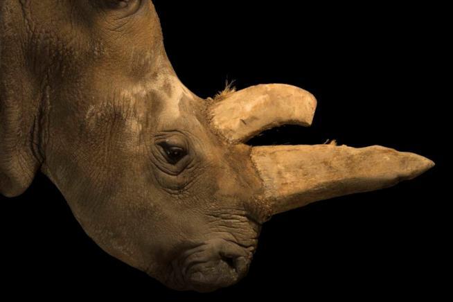 Il rinoceronte bianco settentrionale a Photo Ark, la mostra di Joel Sartore