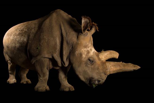 Photo Ark: il rinoceronte bianco settentrionale