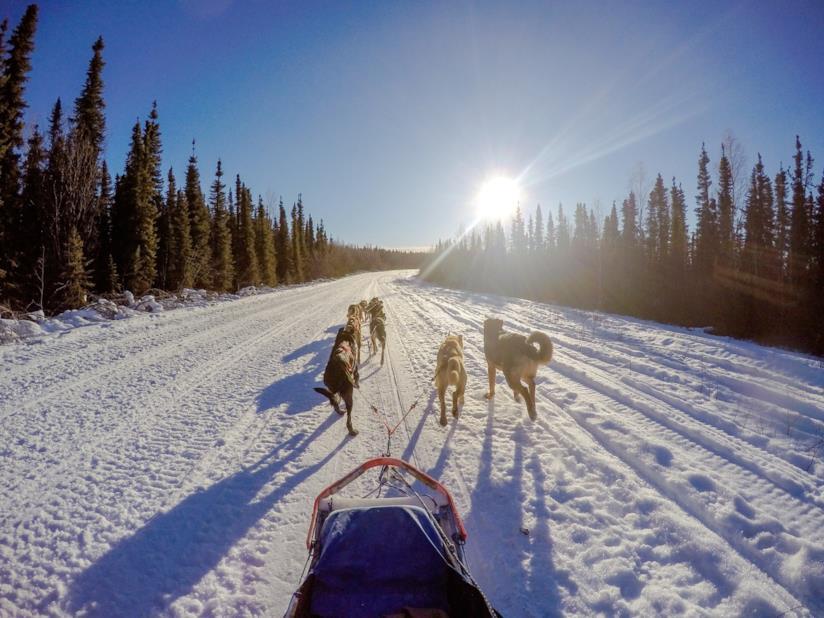 Cani da slitta in Alaska