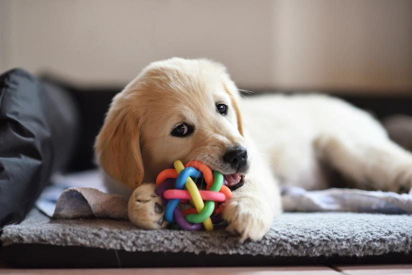 Cucciolo morde un giocattolo