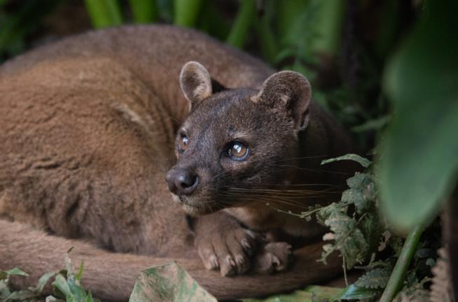 Fossa del Madagascar