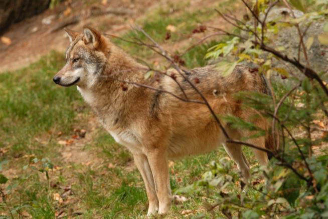 Un primo piano del lupo rosso del Nord America