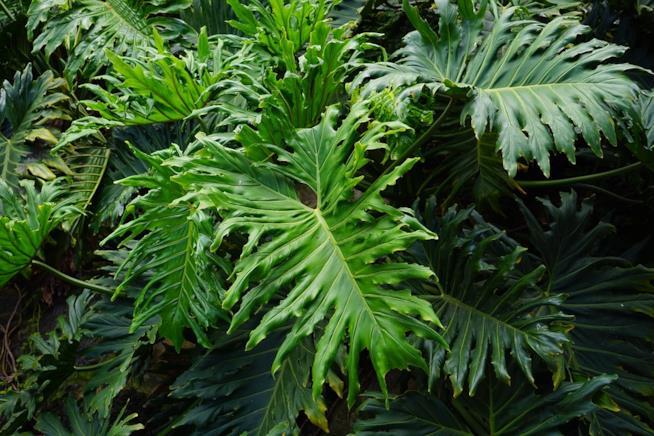 Foglie di Philodendron selloum