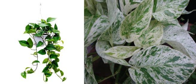 Pothos o Scindapsus Aureum