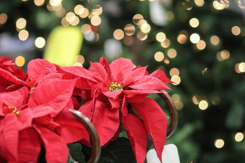 Stella Di Natale Luce.Come Curare Coltivare E Conservare La Stella Di Natale
