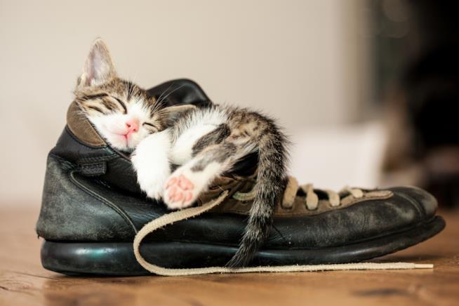 Gattino dorme in una scarpa