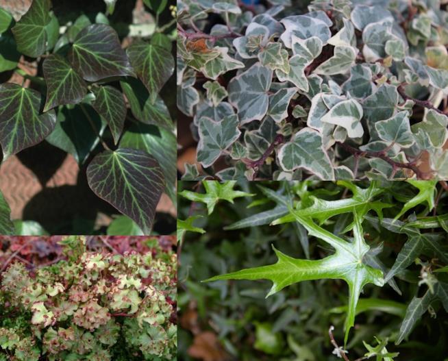 Varietà di HederaHelix