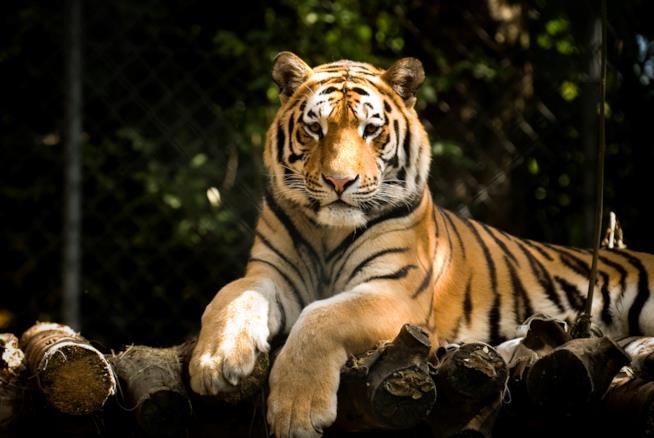 Una maestosa tigre, purtroppo tra gli animali a rischio estinzione