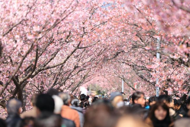 Un viale con ciliegi da fiore in Giappone
