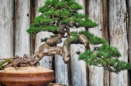 Una guida per imparare a curare un bonsai e ottenere piante bellissime con alcuni consigli e idee