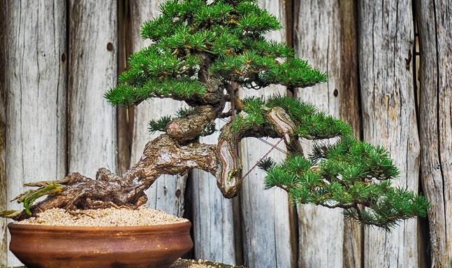 Come curare un bonsai: annaffiatura, concimazione e potatura