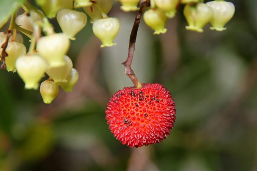Corbezzolo, la pianta conosciuta fin dall'antichità