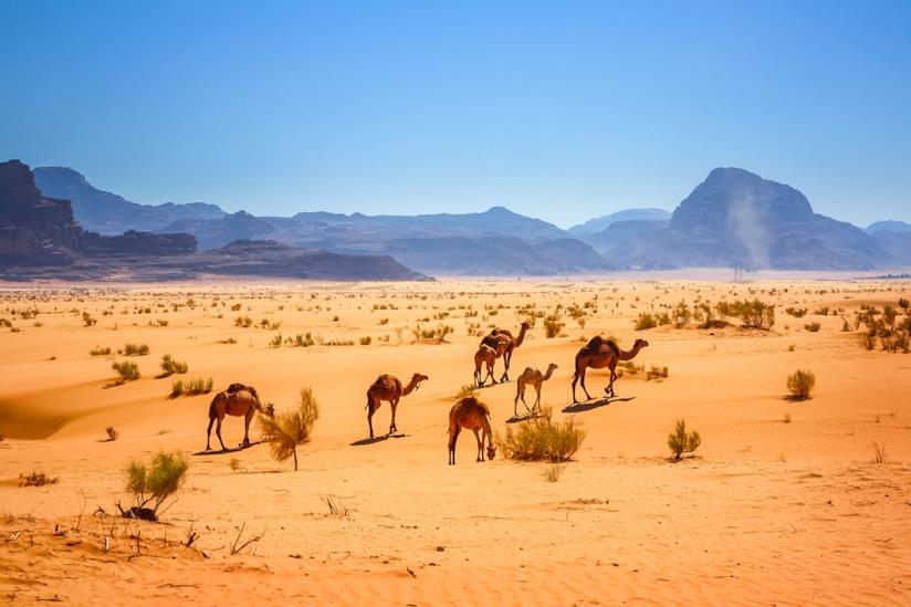 Dromedari nel deserto di Wadi Rum