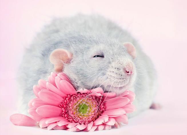 Un topo grigio con un fiore rosa