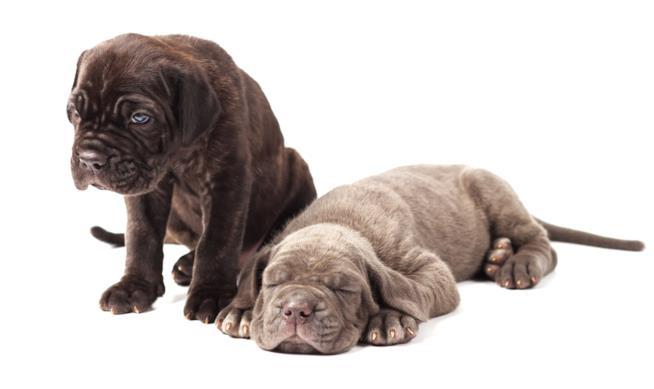 Due esemplari cuccioli di cane corso
