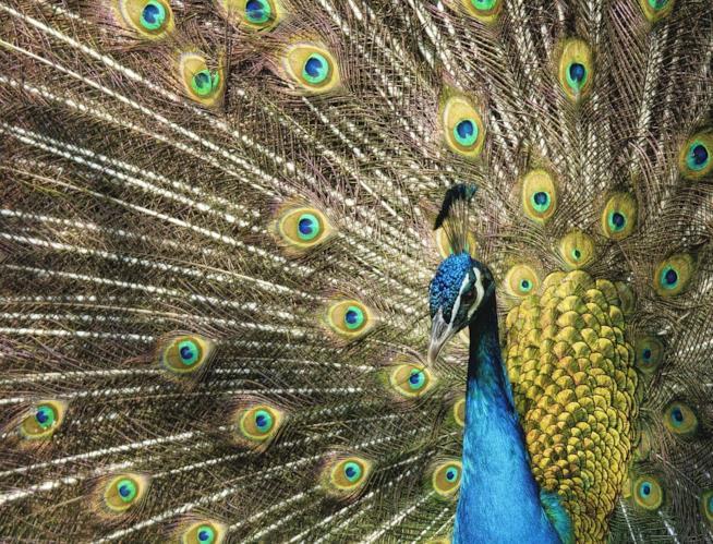 Un pavone con la ruota di piume aperta