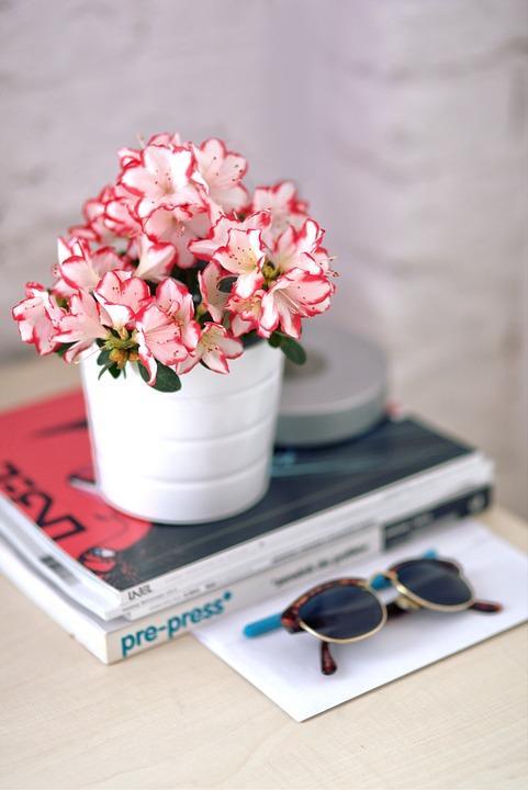 Azalea bicolore in vaso