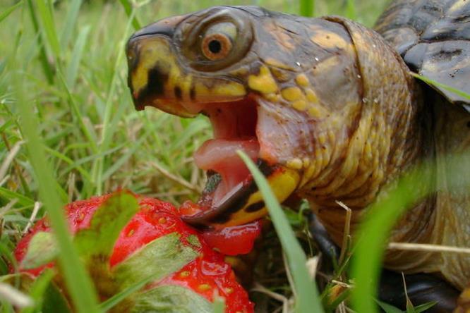 Una tartaruga che sta per mangiare una fragola