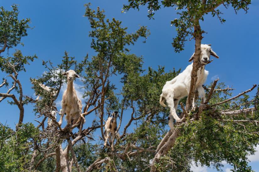 Albero con capre