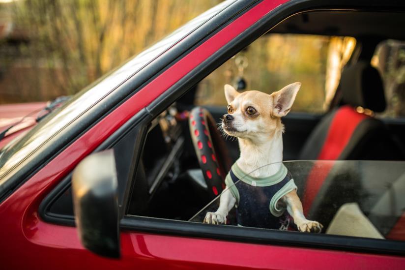 Un cane in macchina.