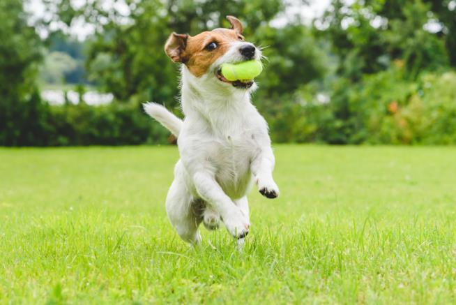 L'immagine di un cane che corre con la pallina in bocca