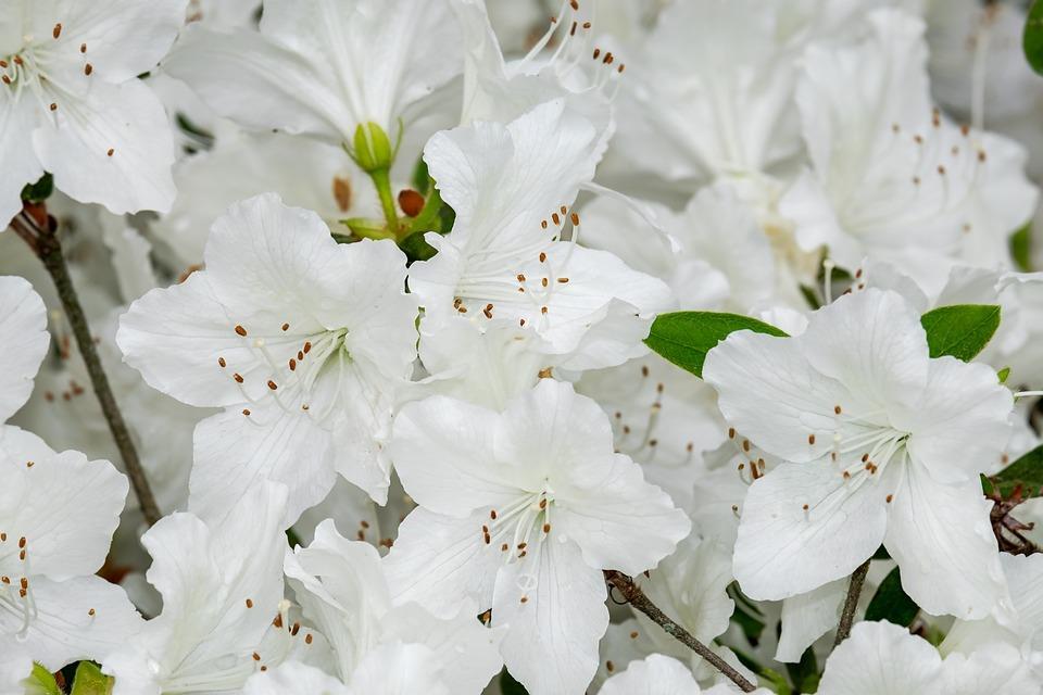 L 39 azalea come curare e coltivare la pianta della festa - Azalea da interno ...