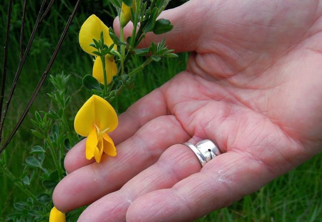 La coltivazione della ginestra in giardino e in vaso