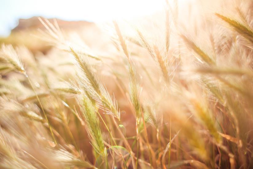 Campo di grano illuminato dal sole