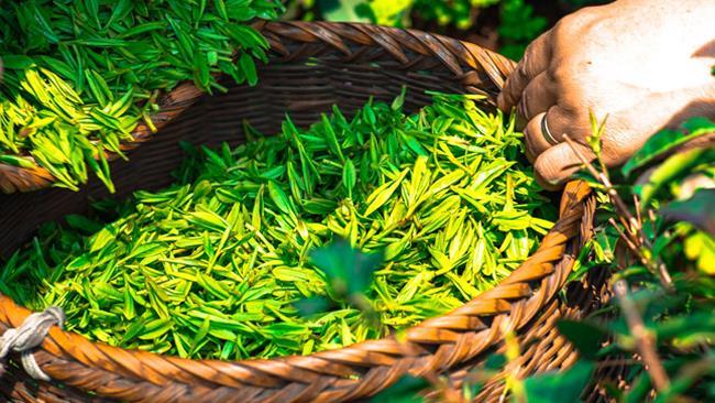 Foglie di tè verde